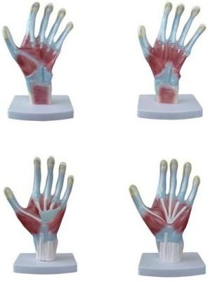 mLabs xc-325 Anatomical Body Model(Palm Anatomy Model PVC)
