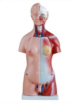 mLabs xc-204 Anatomical Body Model(85CM Unisex Torso 23 Parts PVC Model)