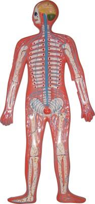 HERINDERA HBH_-_58 Anatomical Body Model