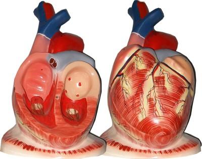 HERINDERA HBH_-_42 Anatomical Body Model