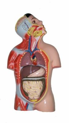 HERINDERA HBH_-_9 Anatomical Body Model