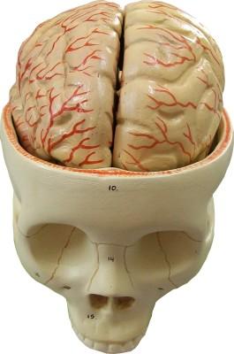 HERINDERA HBH - 15A Anatomical Body Model