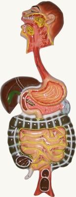HERINDERA HBH_-_55 Anatomical Body Model
