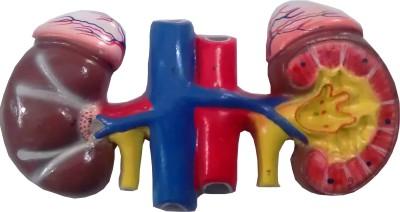HERINDERA HBH_-_68 Anatomical Body Model
