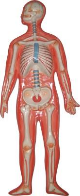 HERINDERA HBH_-_60 Anatomical Body Model