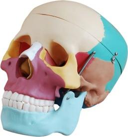 mLabs sk454 Anatomical Body Model(Colored Skull Model)