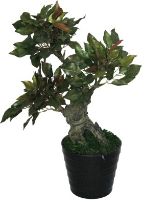PolliNation Capensia Ficus With Pot Artificial Plant  with Pot