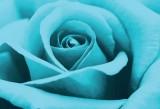 Canvas Champ Beautiful Turquoise Rose Wa...
