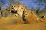 RadhaKripa cheetah running sand Poster P...