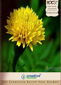 Creative Farmer Flower Seeds Jamanthi Poovu Chrysanthemum Kitchen Garden Pack Seed(20 per packet)