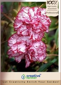Creative Farmer Flower Seeds Dianthus Raspberry Ripple-100 Seeds Seed(100 per packet)