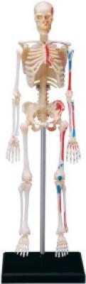 4D Master Human Skeleton Model