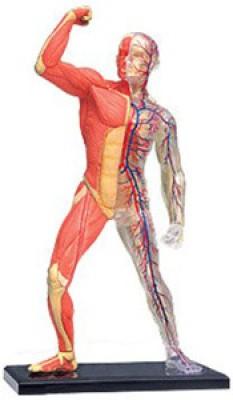 4D Master Human Muscle & Skeleton Model