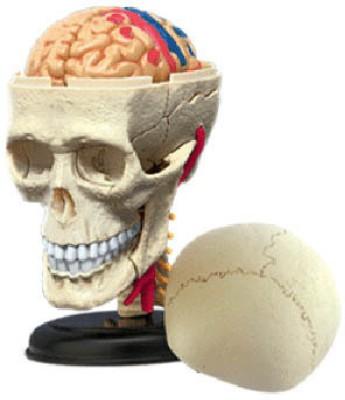4D Master Human Cranial Nerve Skull Model