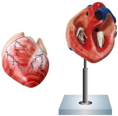 JAINCO HUMAN HEART, 2 PARTS