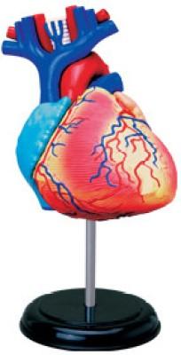 4D Master Human Heart Anatomy Model
