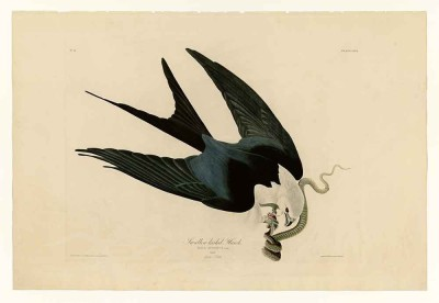 The Museum Outlet Audubon - Swallow-tailed Hawk - Plate 72 - A3 Size Paper Print Digital Reprint Painting
