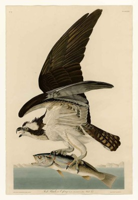 The Museum Outlet The Museum Outlet - Audubon - Fish Hawk or Osprey Plate 81, Stretched Canvas Gallery Wrapped. 20x28