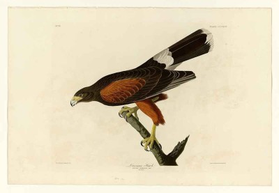 The Museum Outlet The Museum Outlet - Audubon - Louisiana Hawk - Plate 392, Stretched Canvas Gallery Wrapped. 20x28