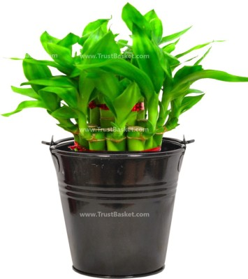 TrustBasket Lucky Bamboo With Black Bucket Plant Container
