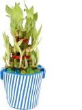 Giftacrossindia Good Luck Bamboo Plant P...