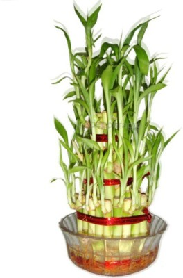 GZ Green 3 LAYER LUCKY BAMBOO PLANT WITH GLASS BOWL IN BOX Plant Container