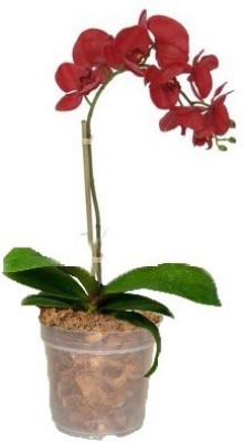GZ Green Red Phalaenopsis Orchid plant with transparent pot (1 month old plant ) Plant Container
