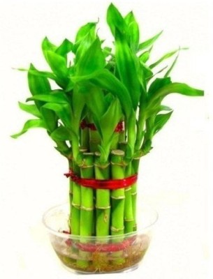 GZ Green Two Layer Lucky Bamboo Plant Plant Container