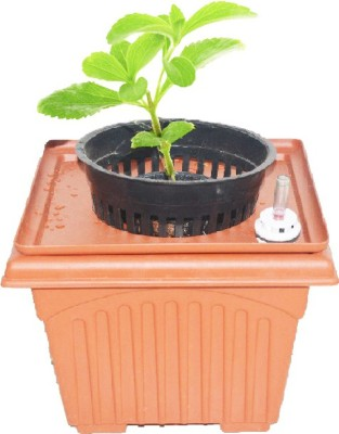 GZ Green Stevia (sugarfree) Herb kit with water level indicator ( Easy to grow ) Plant Container