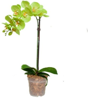 GZ Green Phalaenopsis Green Orchid plant with transparent pot (1 month old plant ) Plant Container