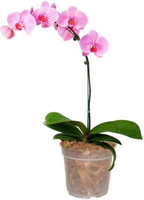 GZ Green Phalaenopsis Pink Orchid plant with transparent pot (1 month old plant ) Plant Container