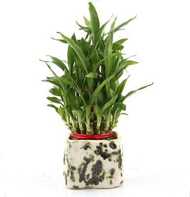 Nurturing Green Lucky bamboo 3 layer in stone finish greenish ceramic pot Plant(Yes Pack of 1 Bamboo)