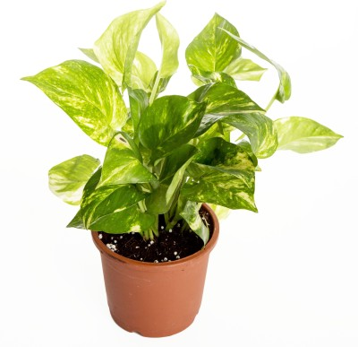 Nurturing Green Indoor Money Plant Hybrid Plant(Yes Pack of 1 Foliage)