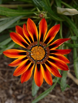 Saaheli Gazania Red Black Flower Seed