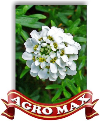 AGRO MAX CANDYTUFT WHITE Seed