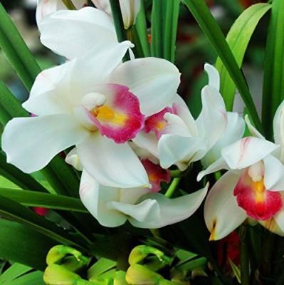 Futaba Pink White Cymbidium Orchid Flower Seed
