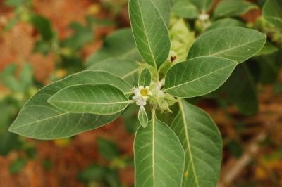 Seedlings India Ashwagandha Hybrid Seed