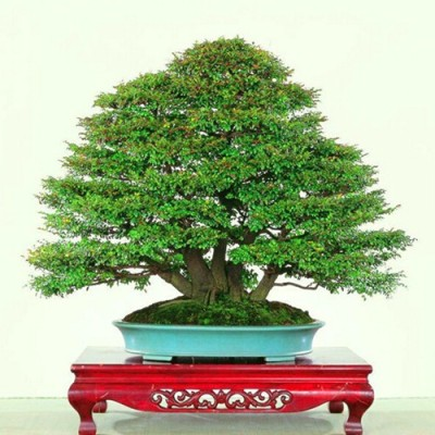 Saaheli Sandal Wood Chandan Tree Seed
