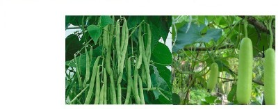Alkarty green bean and bottle gourd Seed