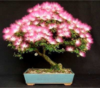 Rainbow Spring Seeds Mimosa Silk Tree Albizia Bonsai Flower Seed
