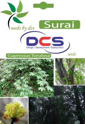 DCS Surai Forest Plant (5g Seeds Per Pack) Seed