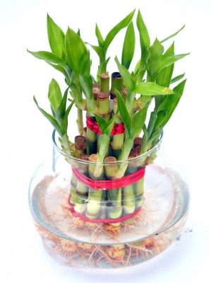 Futaba Lucky Bamboo Seed