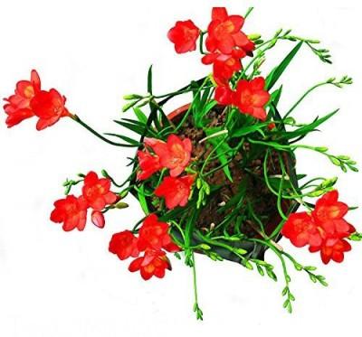 Futaba Freesia Red Flower Seed