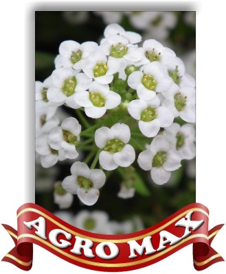 AGRO MAX ALYSSSUM SNOW WHITE Seed