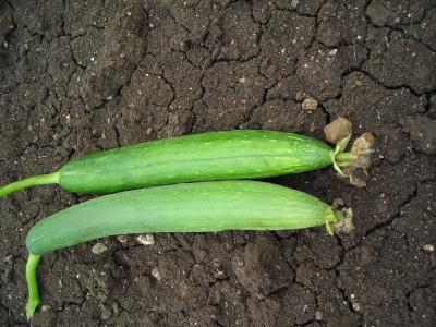Indous Agriseeds Indo Us Shiva Sponge Gourd 100 Seeds Per Packet Seed