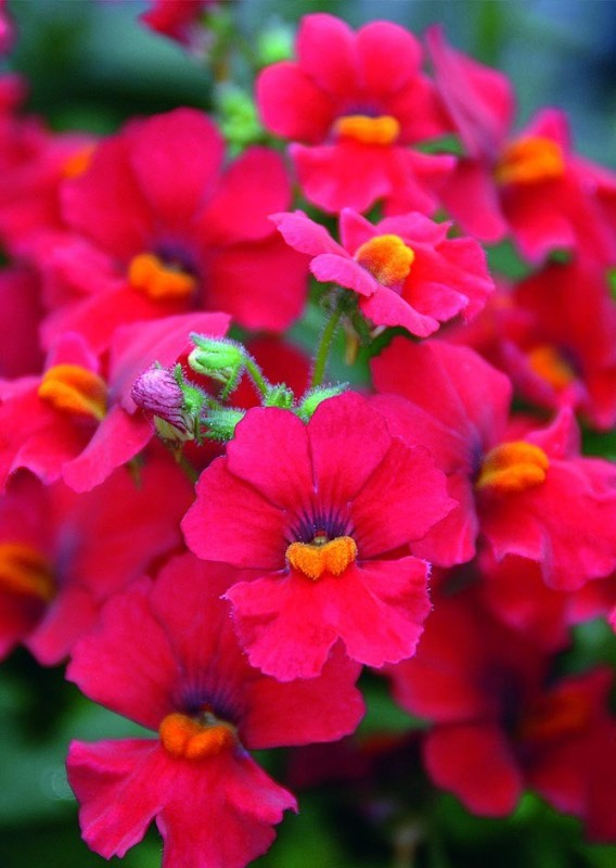 Real Seed Nemesia Double Mixed Hybrid Imported Flower Seeds Seed(70 per packet)