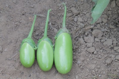 Indous Agriseeds Indo Us Surti F1 Hy.eggplants seeds 200 packet of seeds Seed