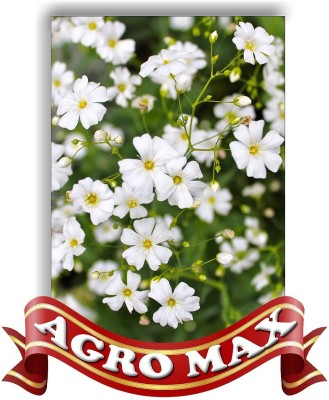 Agro Max GYPSOPHILLA BABY BREATH WHITE Seed