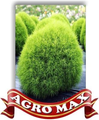 Agro Max KOCHIA TRICHOPHYLLA Seed