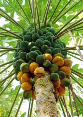Real Seed Pusa Nanha Dwarf Papaya F1 Hybrid Imported Seed